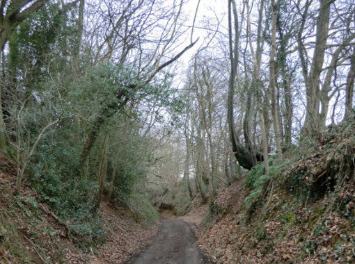 a woodland path with huge trees either side